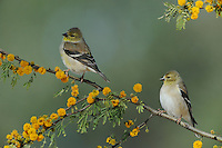 American Goldfinch (Carduelis tristis), adults perched on Huisache tree (Acacia farnesiana), Dinero, Lake Corpus Christi, South Texas, USA