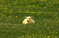 Icelandic Lamb laying in a grassy field small sunflowers all around