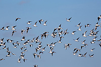Seagulls following the drill <br /> Picture Tim Scrivener 07850 303986<br /> &hellip;.covering agriculture in the UK&hellip;.