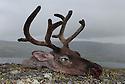 Head of a hunted female reindeer.Hode av skutt simle Home decor, Trond Are Berge