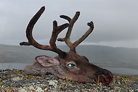 Head of a hunted female reindeer.Hode av skutt simle Home decor, Trond Are Berge