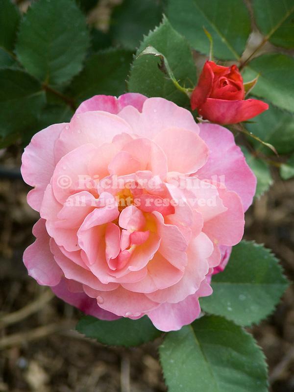 Distant Thunder Rose, Rosa hybrid, Modern Shrub Type