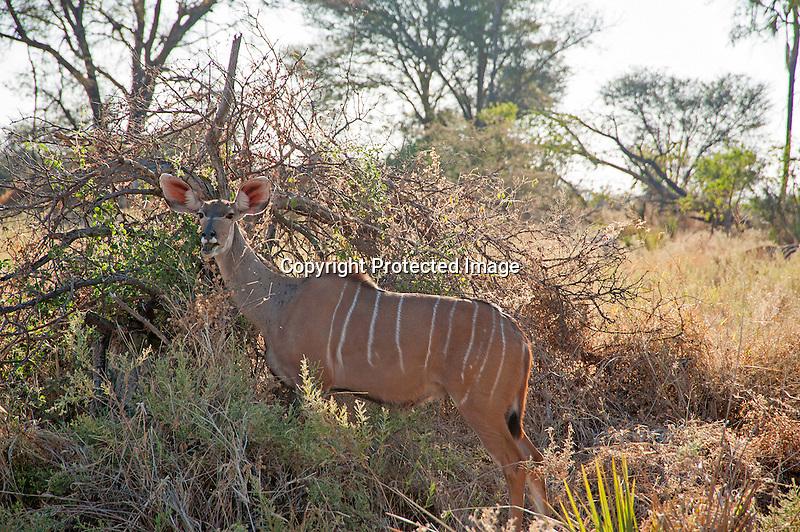 Kudu Foraging in Moremi Animal Reserve in Botswana in Africa