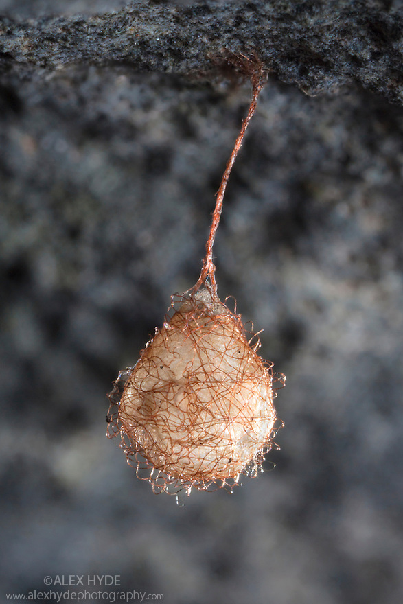 Egg sac of a Pirate Spider {Ero sp.} found hanging underneath a piece of limestone. Pirate spiders lead a nomadic life, hunting other spiders in their own webs. Peak District National Park, Derbyshire, UK. June.