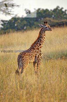 Baby Kenyan Giraffe ,Giraffa camelopardalis tippelskirchi,, Masai Mara Game Reserve, Kenya.