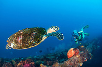 Hawksbill Sea Turtle, Eretmochelys imbricata, with Barnacles, estuarine crustaceans, and Female Diver on the S.S. Yongala Shipwreck, wreck, Great Barrier Reef, Coral Sea, Queensland, Australia