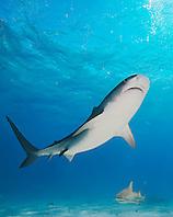 Tiger Shark, Galeocerdo cuvier, and Lemon Sharks, Negaprion brevirostris, West End, Grand Bahama, Atlantic Ocean