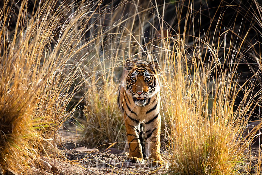 India, Rajasthan, Ranthambhore National Park, 18 months old Bengal tiger cub walking in grass