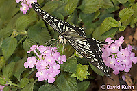 0401-08nn  Anise Swallowtail, Papilio zelicaon © David Kuhn/Dwight Kuhn Photography