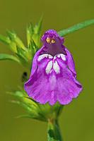 Schmalblättriger Hohlzahn, Galeopsis angustifolia, Galeopsis ladanum var. angustifolia, Red Hemp-nettle, Le Galéopsis à feuilles étroites