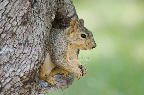 Eastern Fox Squirrel, Sciurus niger, adult in tree cavity, Uvalde County, Hill Country, Texas, USA, April 2006