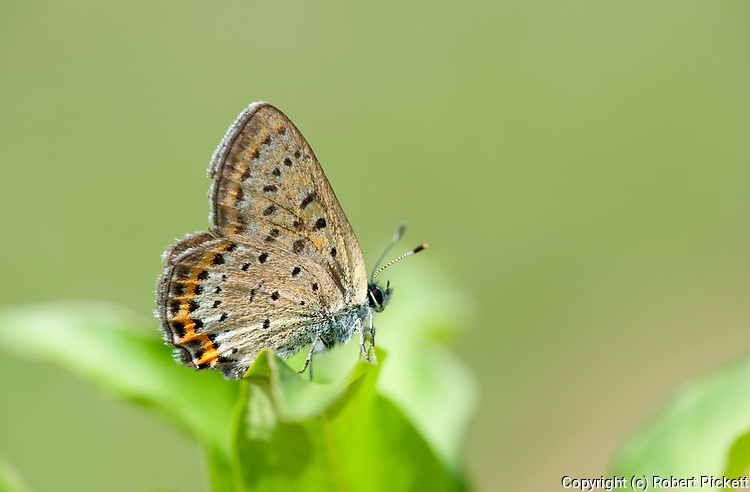 Violet Copper Butterfly, Lycaena helle, Poienile Narcise, Brasov, Transylvania, Romania, underside of wings