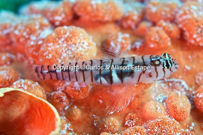 Tigrigobius macrodon, Tiger goby, Florida Keys