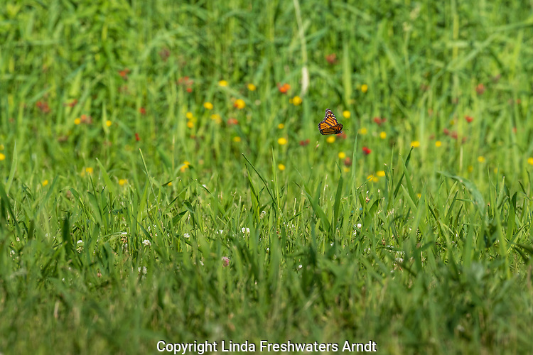 Monarch butterfly flying over a summer meadow in northern Wisconsin.