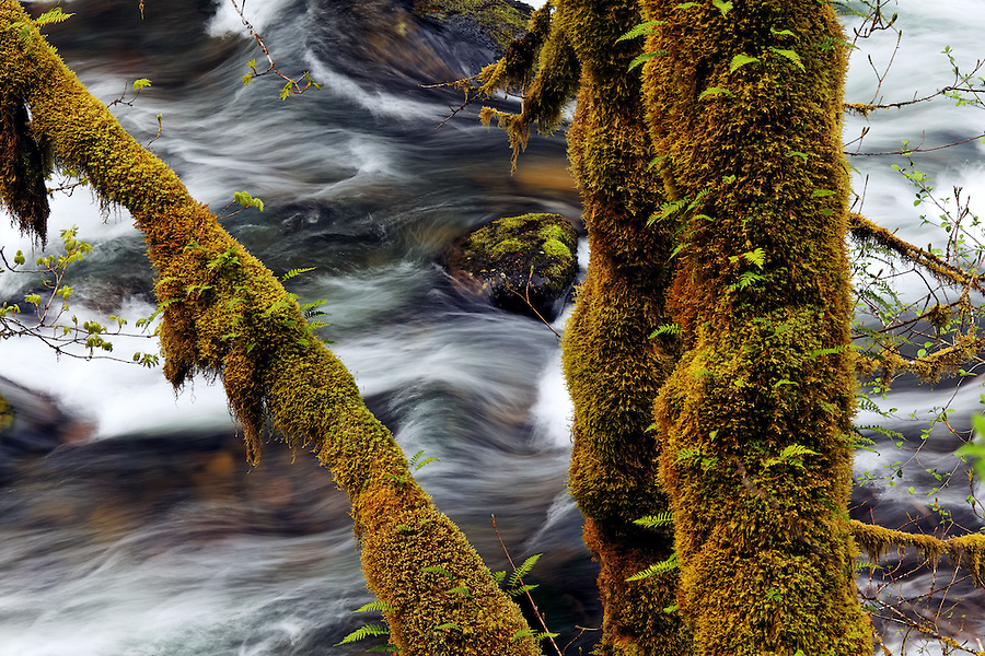 Eagle Creek and mossy maple trunks, Eagle Creek Recreation Area, Columbia River Gorge National Scenic Area, Oregon, USA