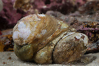 Pantoffelschnecke, Pantoffel-Schnecke, Amerikanische Pantoffelschnecke, Porzellanpantoffel, Crepidula fornicata, slipper limpet, slippersnail, common slipper shell, common Atlantic slippersnail, boat shell, quarterdeck shell, fornicating slipper snail, crépidule, berlingot de mer