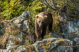 USA, Alaska, Redoubt Bay, Big River Lake, a brown grizzly bear walking on the rocks in Wolverine Cove