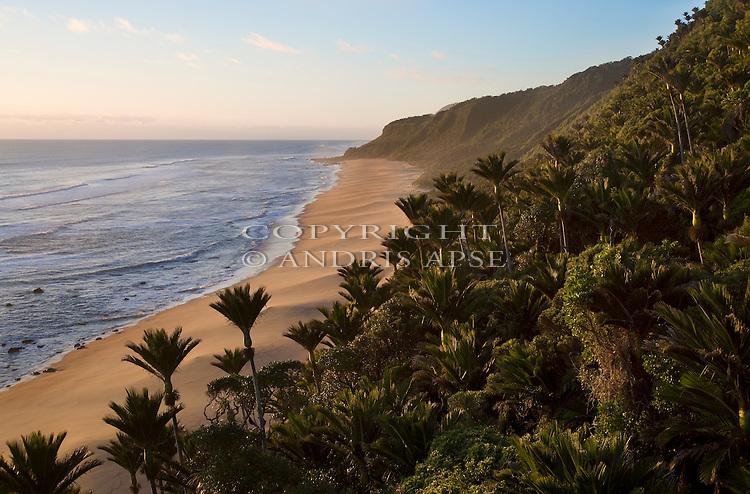 Nikau Palms. Kahurangi coastline. Tasman Region. New Zealand.
