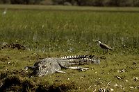 SALTWATER CROCODILE AT KAKADU NATIONAL PARK