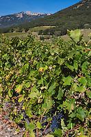 France, Aude (11), Cucugnan,  le vignoble AOC Corbières et en fond le Château de Peyrepertuse //France, Aude, Cucugnan,  Corbieres (AOC) Vineyard and in the background Peyrepertuse cathar castle