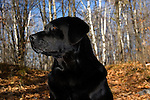 Black Labrador retriever (AKC) profile in fall woods.  Winter, WI.