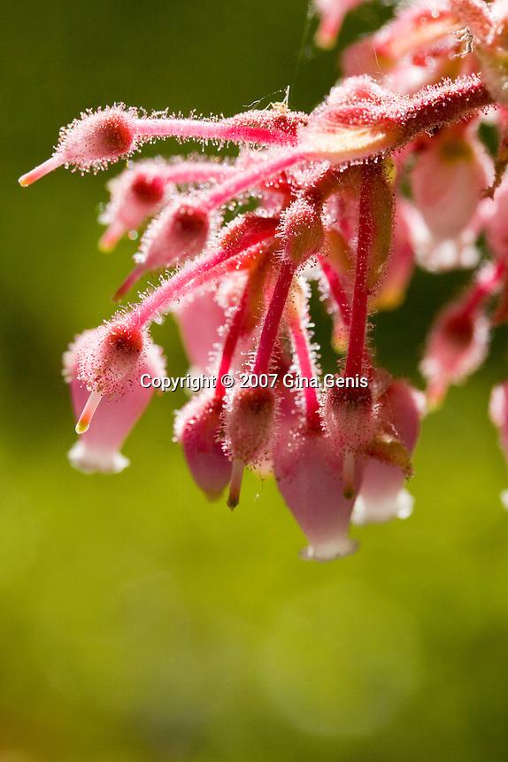 Manzanita in full bloom