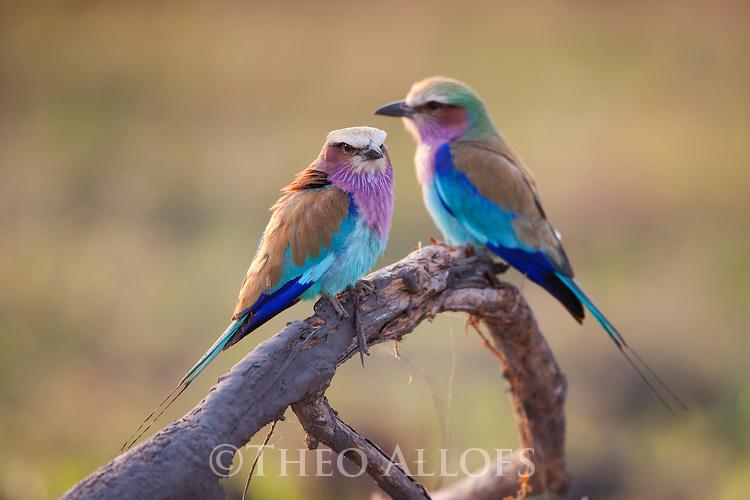 Botswana, Okavango Delta, Moremi; lilac-breasted roller (Coracias caudata)