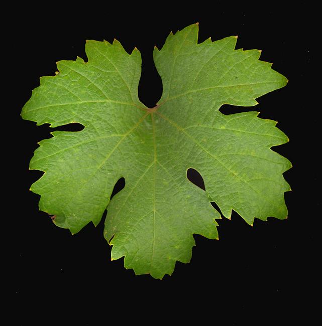 Zinfandel leaf