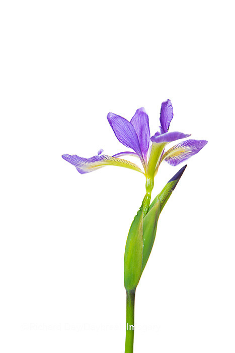 30099-00117 Blue Flag Iris (Iris versicolor) with white background, Marion Co., IL