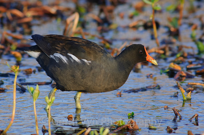 Adult Common Moorhen (Gallinula chloropus) in breeding plumage foraging in a marsh. Anahuac National Wildlife Refuge, Texas. March.