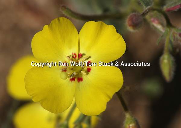 Mojave Sun Cup (Camissonia campestris) a/k/a Field Primrose. Butterbredt Spring. Kern Co., Calif.