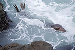 San Simeon, California; a sub-adult male Northern Elephant Seal (Mirounga angustirostris) in the water near the rocky shoreline