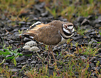 Killdeer protecting her nest with eggs in Multnomah County, Oregon