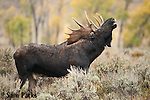 Bull moose exhibiting flehmen response during the rut. Grand Teton National Park, Wyoming.