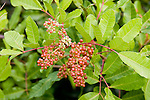 Brazilian Pepper is considered an invasive species in the Everglades.