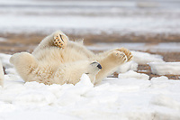 Polar bear cub rolls in the snow on a barrier island in the Beaufort Sea, Arctic National Wildlife Refuge, Alaska.