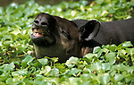Bairds Tapir, Tapirus bairdii, in water, weeds, curling lip showing teeth, captive.Belize....