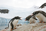 Jeunes manchots papous. Peninsule antarctique