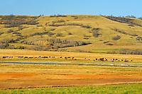 Cattle<br /> near Grenfell<br /> Saskatchewan<br /> Canada