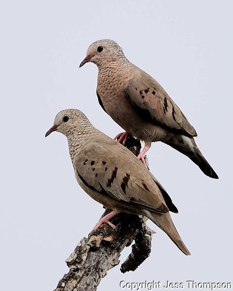 Common Ground Doves, Garza Ranch, South Texas