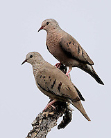 Common Ground Doves, Garza Ranch, South Texas