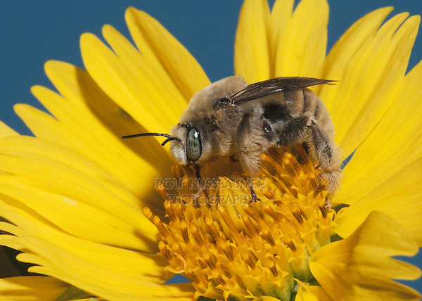 Leafcutter bee, mason bee (Megachilidae), adult with pollen from daisy, Sinton, Corpus Christi, Coastal Bend, Texas, USA