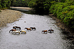 Nine horses crossing river in secluded rainforest in Costa Rica.