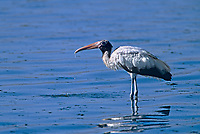 579993024 a wild wood stork mycteria americana stands in a shallow estuary on sanibel island in south florida