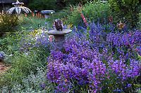 Penstemon heterophyllus 'Catherine de la Mare', California native wildflower in bee-friendly, pollinator garden; Kate Frey Garden