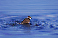 Little Ringed Plover, Charadrius dubius,adult bathing, National Park Lake Neusiedl, Burgenland, Austria, April 2007