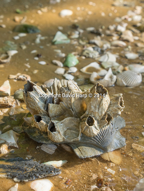 Giant fossilized barnacles cling to a fossilized pectin shell that eroded from the Choptank Formation at Boston Cliffs.