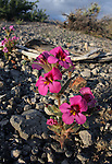 Dwarf Purple Monkeyflower (Mimulus nanus) a/k/a Dwarf Monkey Flower. South Tufa Area. Mono Lake Tufa State Reserve. Near Lee Vining, Mono Co., Calif.