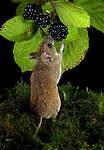 Wood Mouse, Apodemus sylvaticus, feeding on blackberry fruit, nocturnal, night, garden.United Kingdom....