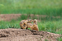673030139 wild utah prairie dogs cynomys parvidens a threatened species interact by their burrow in bryce canyon national park utah united states